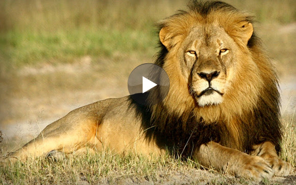 Watch, learn and speak this video lesson to learn more about the death of Cecil the Lion.